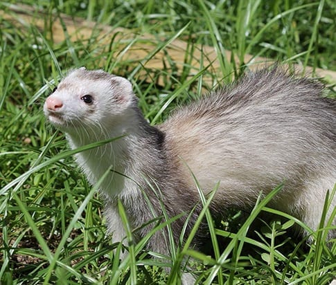 Exotic Pet Surgery in Grapevine: Ferret Playing in the Grass