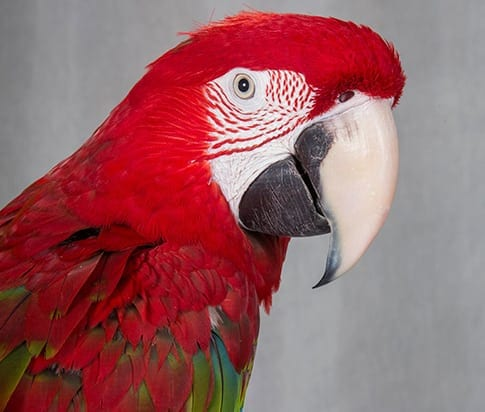 Exotic Pet Surgery in Grapevine: Red Parrot